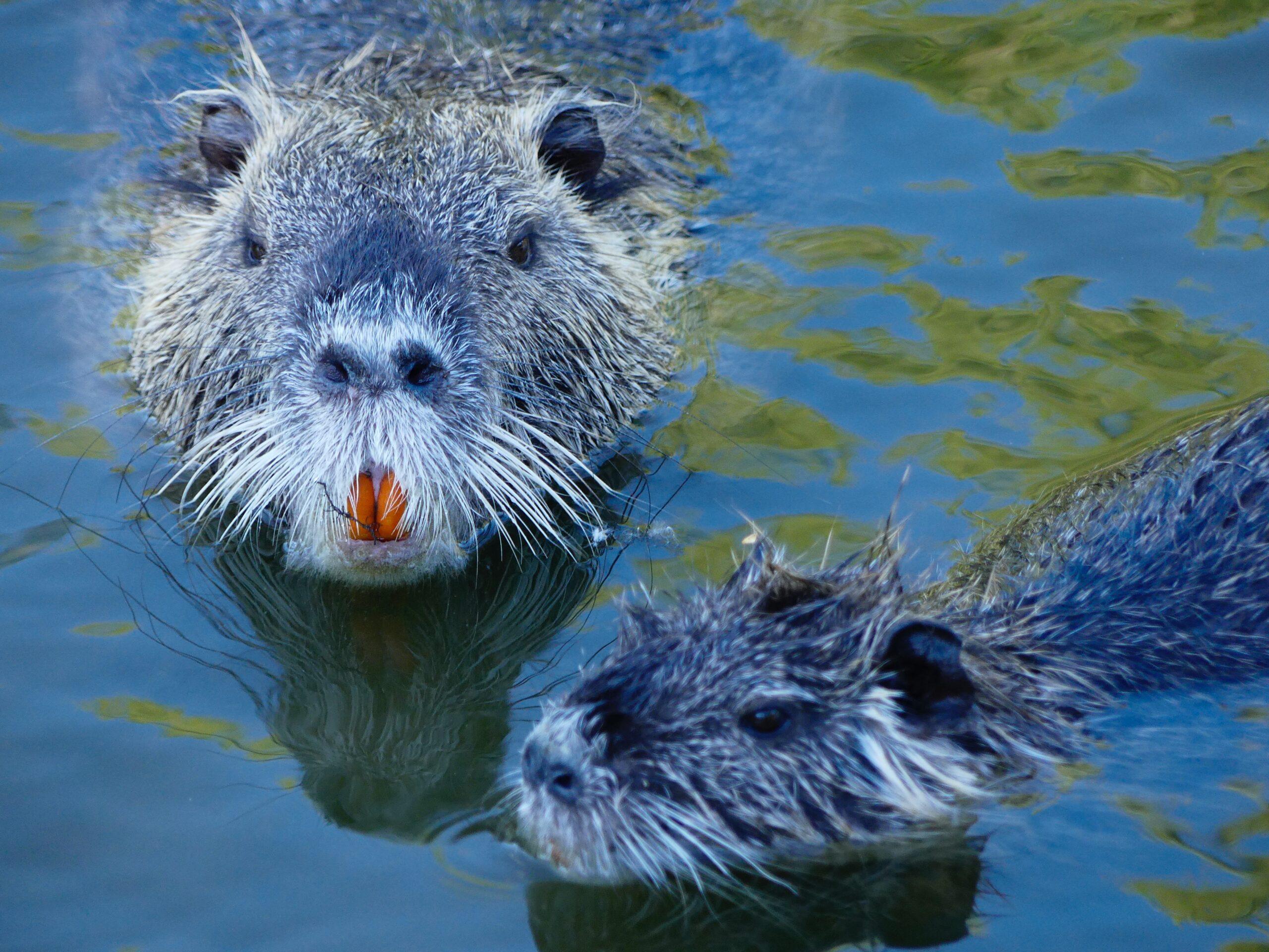 Beavers
